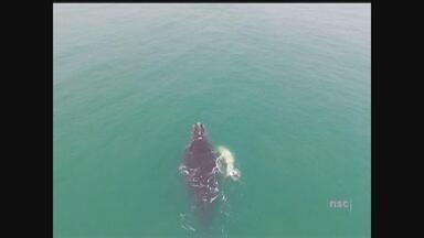 Projeto de pesquisadores estuda o som das baleias no Sul de SC - Projeto de pesquisadores estuda o som das baleias no Sul de SC