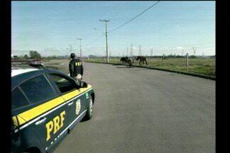 O perigo para motoristas dos animais abandonados nas rodovias - A polícia rodoviária federal retirou mais de 160 animais das pistas.