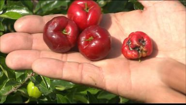 PB Rural fala sobre a produção de acerola no Conde, Litoral Sul da Paraíba - Uma doença causada por um fungo que ameaça as plantações atrapalhou os produtores da fruta por um tempo.