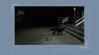 Tamanduá é filmado descendo escada de posto de combustíveis, em Pires do Rio - Flagrante foi enviado pelo aplicativo Quero Ver na TV.