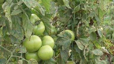 Produtores de tomate do Vale do Rio doce se animam com próxima colheita - O clima é o principal fator de recuperação.