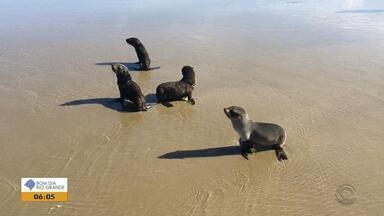 Lobos-marinhos e tartarugas são encontrados na praia do Cassino, em Rio Grande - Recuperados, os animais foram devolvidos ao mar.