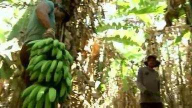 Safra de banana prata movimenta economia de Interlândia, distrito de Anápolis - Colheita boa é motivo de festa no local.