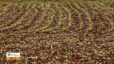 Clima seco favorece e boa cotação favorecem a safra do milho no RS - Plantio já começou na região Noroeste do estado.