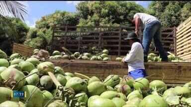 Pesquisadores estudam formas de usar coqueirais para alimentar o gado - Pesquisadores estudam formas de usar coqueirais para alimentar o gado
