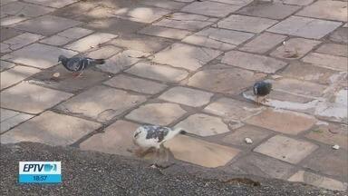 Lei que prevê multa a quem alimenta pombos é regulamentada em São Lourenço, MG - Lei que prevê multa a quem alimenta pombos é regulamentada em São Lourenço, MG