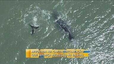 Votação para caça a baleias acontece nesta sexta-feira (14) - Votação para caça a baleias acontece nesta sexta-feira (14); declaração reforça proteção aos animais