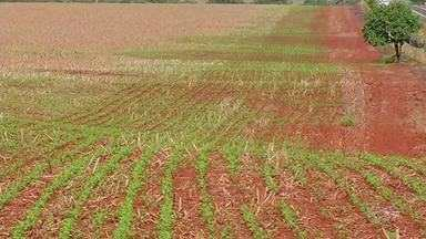 Produtores terminam a colheita do milho safrinha em Goiás - O plantio de soja está previsto para começar no início de outubro.