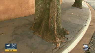Moradores cimentam raízes de árvores em Ribeirão Preto, SP - Problema aconteceu durante a construção de uma calçada.