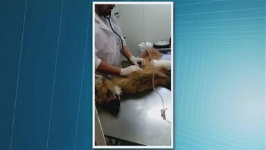 Fêmea de lobo-guará é atendida em Uberaba - Ela foi encontrada próximo a Araxá, no Alto Paranaíba. O atendimento foi feito no hospital veterinário.
