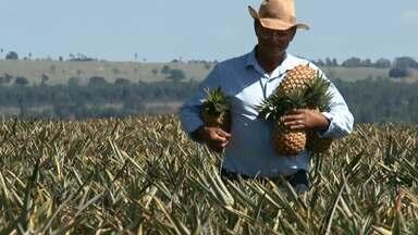 Abacaxi do Paraná é exportado pra Argentina - Cultivo da fruta ganha espaço na região noroeste