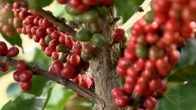 Produtores de Alfredo Chaves apostam em café árabica e conilon, no ES - A aposta está dando certo na região, confira como foi a colheita.
