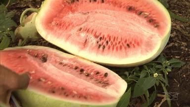 Produtores investem em plantio da melancia no Maranhão - Além de fornecerem as melancias para a merenda escolar, eles veem a produção sendo disputada por compradores de toda a região.