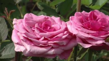 Rosas colombianas fazem sucesso no Vale do Aço - Com alguns cuidados, é possível produzir flores maiores e mais duradouras.