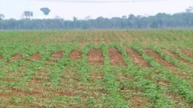 Parte 1: Em Humaitá, no AM, produtores investem na plantação de soja - Cada hectare plantado rendeu mais de 2 toneladas.