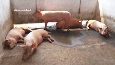 Parte 2: Nova Mamoré se destaca na criação de suínos - Produtor investe em genética para suínos.