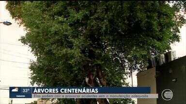 Árvores centenárias sem os cuidados necessários podem cair e causar acidentes em Teresina - Árvores centenárias sem os cuidados necessários podem cair e causar acidentes em Teresina