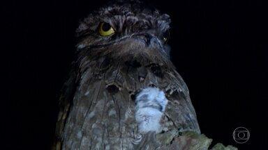 Conhecida como ave fantasma, o urutau é mestre dos disfarces - Ave enxerga de olhos fechados, graças a uma fenda nas pálpebras chamada olho mágico.