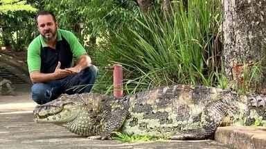 """Homem se emociona ao falar do amigo do peito: um jacaré - Zé Carlos, que tem o dom de encantar os animais, se emociona ao falar de Chicão, um jacaré-de-papo-amarelo: """"Enquanto eu tiver aqui, ele vai estar seguro comigo""""."""