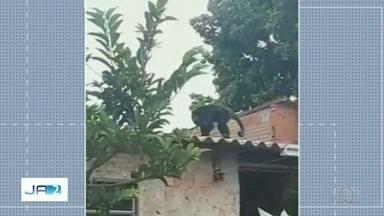 Macaco de mais de 1 metro é flagrado caminhando por telhado de casa em Anápolis - Segundo vizinhos, animal aparece no bairro há cerca de 15 dias, pega comida e se esconde no alto de uma árvore. Bombeiros tentaram fazer captura, mas não conseguiram.