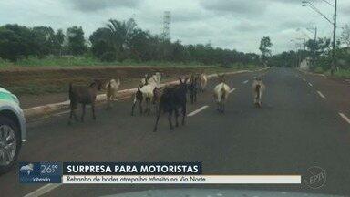 Bodes invadem a Via Norte e atrapalham motoristas em Ribeirão Preto, SP - Morador flagrou o momento em que ao menos doze animais passavam pelo local.