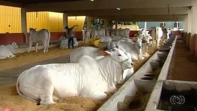 55ª Exposição Agropecuária de Goiânia termina neste domingo (28) - Há 13 anos acontece a exposição internacional do nelore. Avaliações e até premiações são realizadas com os animais de raça.