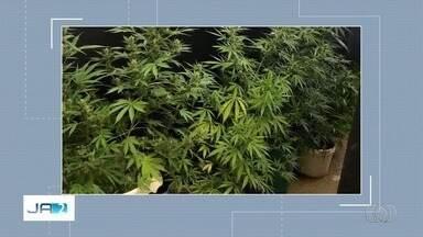 Homem é preso com plantação de maconha em cas em Cidade Ocidental - Suspeito tinha quatro pés grandes da planta na residência.