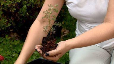 Aprenda a cultivar camomila no jardim de casa - O plantio pode ser feito com as sementes ou com a muda da planta.