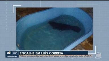 Filhote de peixe-boi encalha no litoral piauiense e é recolhido pelo ICMBIO - Filhote de peixe-boi encalha no litoral piauiense e é recolhido pelo ICMBIO