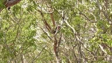 Mais de 300 pássaros resgatados são soltos em região de Caatinga, em AL - Animais foram resgatados pela Fiscalização Integrada do São Francisco.