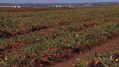 Goiânia recebe Congresso Brasileiro de Tomate - Participaram pesquisadores e profissionais ligados à cadeia produtiva do tomate para processamento.