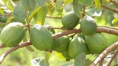 Produtores de goiaba estão animados com safra - A família Shimasaki é uma das pioneiras na produção de goiabas na região de Araçatuba (SP). As primeiras goiabeiras foram plantadas em 1975, mas o ataque de pragas e o excesso de oferta atrapalharam tudo.