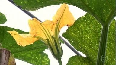Plantação de abóbora dá flores, mas não tem frutos - Entenda como corrigir esse problema.