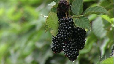 Amora e framboesa são as apostas de agricultor em Salinas, MG - Para o sucesso da plantação, Eufrásio de Souza teve bastante trabalho para adaptar as frutas ao clima da região. O trabalho começou em 2012.