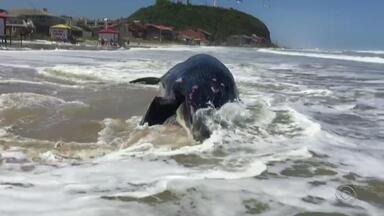 Baleia morta é encontrada encalhada na beira da praia em Torres - Biólogo acredita que o animal tenha morrido no mar, e o corpo tenha sido levado até a orla pela ressaca.