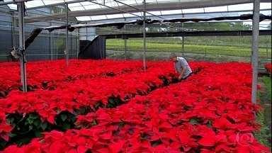 Milhares da vasos com a flor do natal são produzidos em SP - Na região de Mogi das Cruzes não é difícil encontrar estufas lotadas de poinsétia. A flor é muito usada nas decorações de Natal. A variedade vermelha é a mais procurada. De olho no mercado muitos agricultores aumentaram a produção.