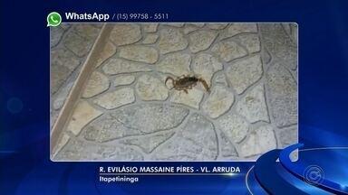 Moradores da região de Itapetininga reclamam de escorpiões em bairros - Moradores de Tatuí, Itapetininga e Laranjal Paulista registraram fotos de escorpiões encontrados nas cidades.