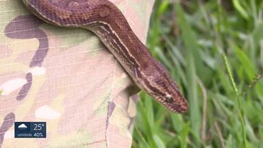 Cresce o número de cobras encontradas em casas e quintais - No ano passado, a PM resgatou 428 serpentes no DF. 44% a mais que em 2017. Jiboias e cascavéis foram as espécies mais apreendidas. E este ano, até agora, já foram 15 cobras capturadas.