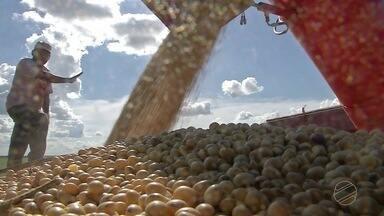 Produtores de soja do médio norte registram perda de produtividade - Em Sorriso faltou chuva no período de enchimento do grão nas lavouras e a Aprosoja estima uma redução de até 4% nessas primeiras áreas que foram colhidas.