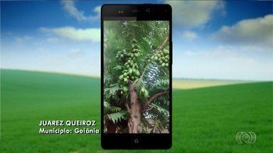 Confira as Imagens do Campo deste domingo (13) - Telespectador registra pé de limão japonês em Goiânia.