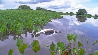 Carcaças de Jacaré no Pantanal de MS preocupam ambientalistas - Os animais são mortos e tem a carne e os rabos retirados