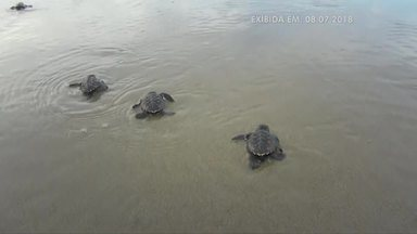 Desova das tartarugas no litoral piauiense se torna atração turística - Projeto de preservação de tartarugas no litoral piauiense se torna atração turística