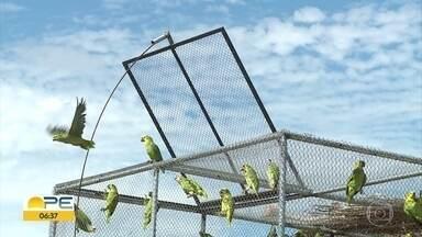 Ameaçados de extinção, 64 papagaios são devolvidos para a natureza no Sertão de PE - Aves da espécie Verdadeiro foram apreendidos em casas e feiras e passaram por reabilitação para voltar ao seu habitat natural.