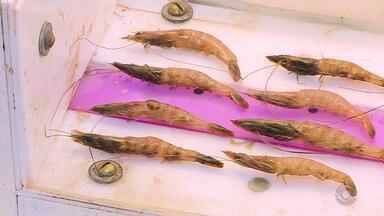 A partir desta sexta-feira (1) a pesca de camarão está liberada - Expectativa da safra para 2019 é alta.