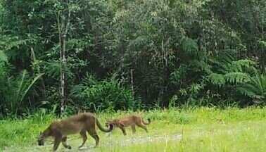 Armadilha fotográfica flagra família selvagem - Onça-parda e dois filhotes foram registrados no Parque das Neblinas (SP)