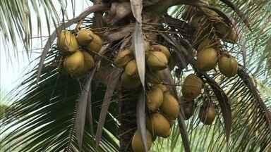 Produção de coco seco aumenta lucros de agricultores de Matriz do Camaragibe - O produto é usado para produzir biodiesel.