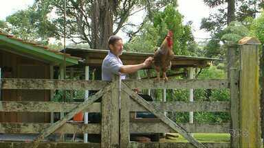 Galo gigante é atração em propriedade rural de Guarapuava - Quando nasceu, o animal era o pintinho feio do grupo, e hoje é destaque na propriedade.