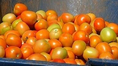 Produtores cultivam tomate na entressafra, em Catalão - Cultivo é arriscado mas produtores obtém bons resultados como 250 caixas para cada mil pés.