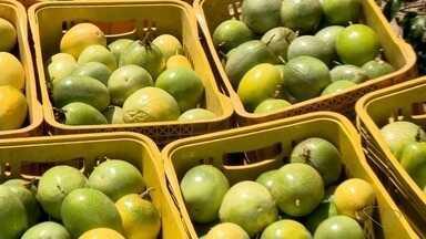 Lavouras de maracujá são prejudicadas por forte calor, ES - Os frutos ficam queimados. Os agricultores ainda sofrem com o custo de produção, que também está alto.