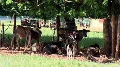 Pecuaristas apostam em tratamento humanizado da criação em Pontal do Triângulo - Sistemas proporcionam bem-estar animal, gerando lucro para os proprietários.